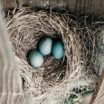 Photo of blue eggs in a nest, from Pexels.com